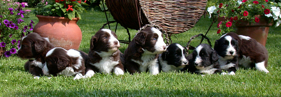 Breeding Bearded Collies